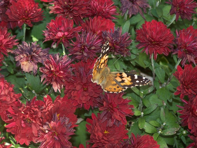 A Butterfly Against Fading Fall Mum