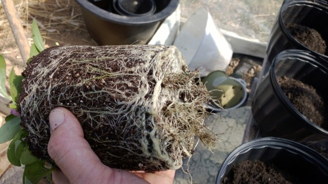 Here is a shot of the roots on one of the wave petunia plants.
