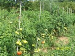 Some tomato plants staked to support the weight of the ripening fruit.