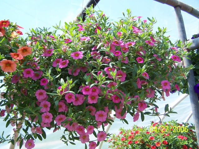A pink million bells or Calibrachoa basket.