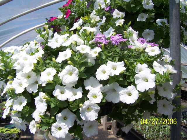 White wave petunia paired with light purple trailing verbena.