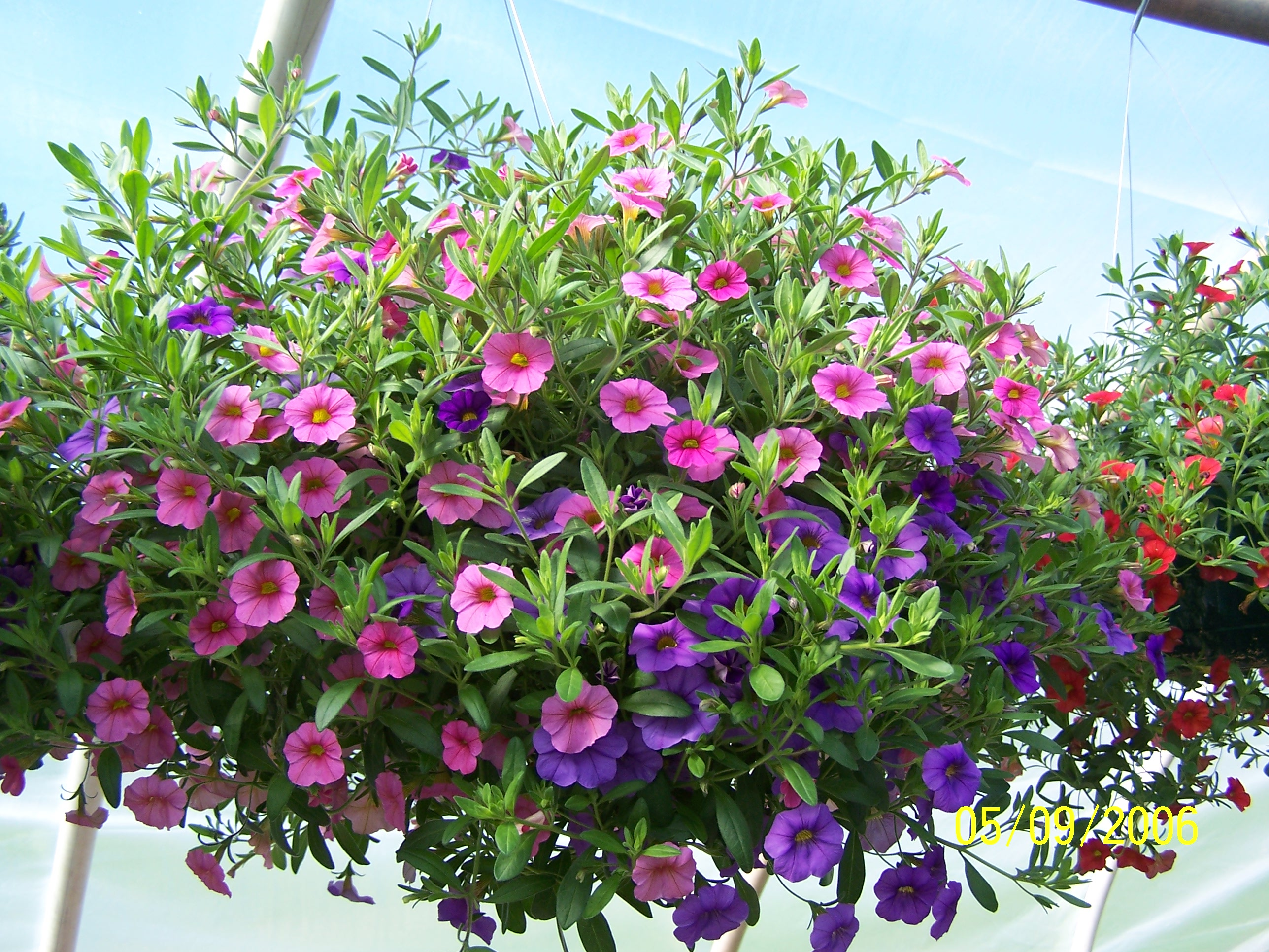 best annuals for hanging baskets part two joe 39 s musings. Black Bedroom Furniture Sets. Home Design Ideas