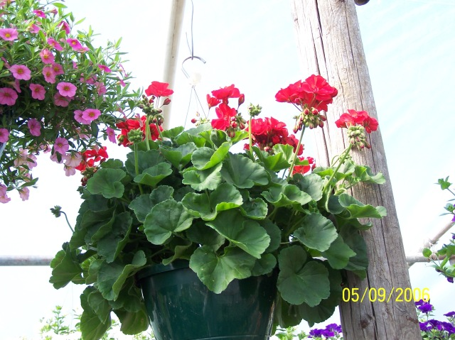 The classic red Geranium basket.