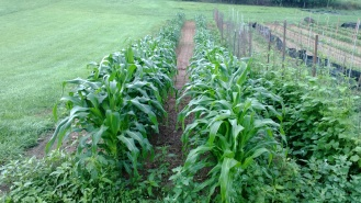 Corn planted early is getting pretty tall. Hopefully we can enjoy fresh corn on the cob in 4-5 weeks.