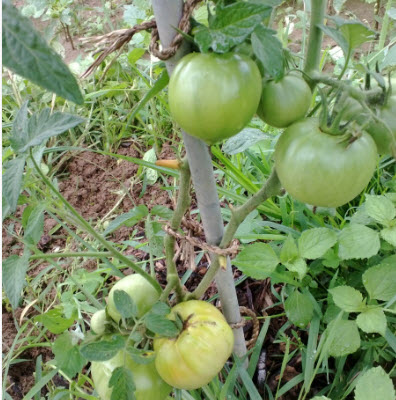 The tomato att he bottom is beginning to turn, meaning good eating coming soon.