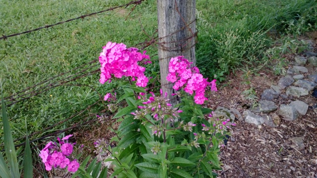 Some pink Summer Phlox in our flower bed.