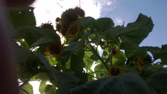 Looking from the ground up toward spent sunflower heads.